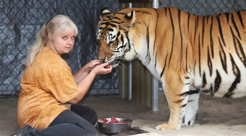 Feed Man Eating Tigers Pet Foods By Hand (2)