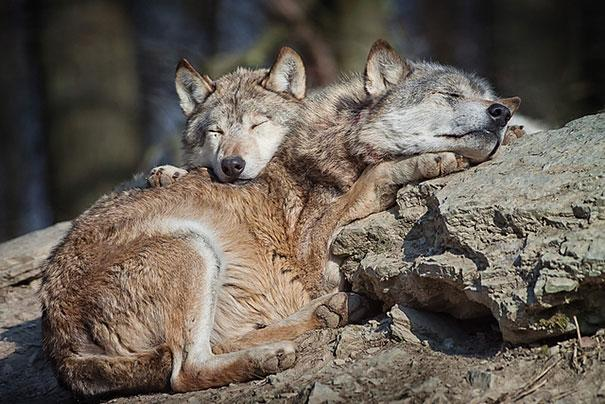 Photos 30 Animals Using Each Other As Pillows (16)