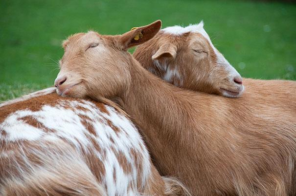 Photos 30 Animals Using Each Other As Pillows (18)