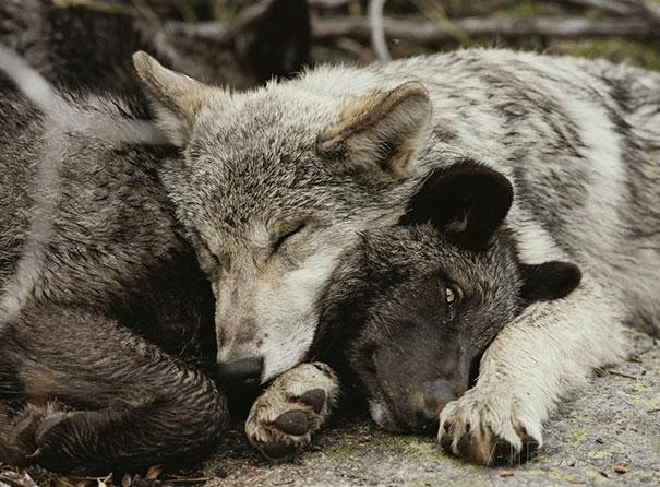 Photos 30 Animals Using Each Other As Pillows (21)