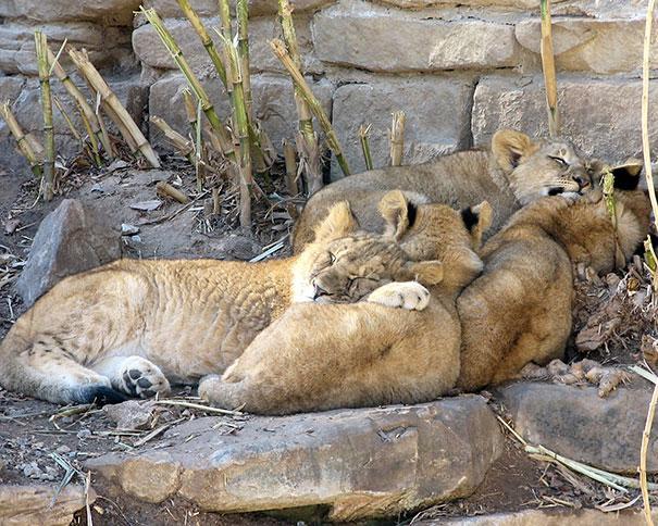 Photos 30 Animals Using Each Other As Pillows (9)
