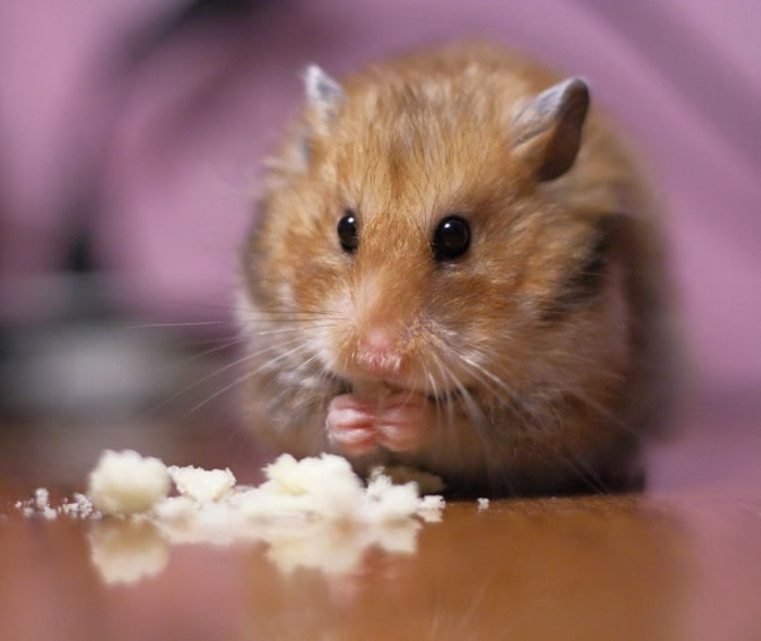 These 27 Cute Hamster Pictures Will Melt Your Heart 6