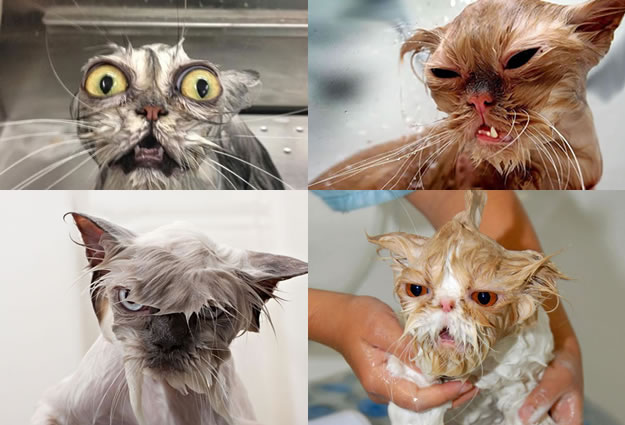 15 Wet Cat Grooming Photo Funnies 1