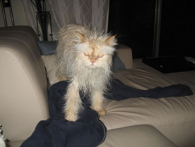 15 Wet Cat Grooming Photo Funnies 11