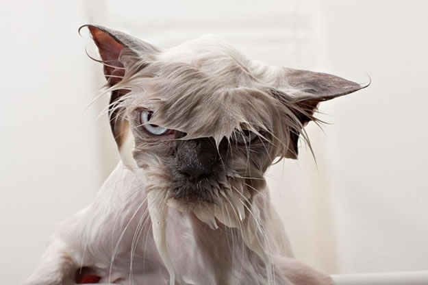 15 Wet Cat Grooming Photo Funnies 3