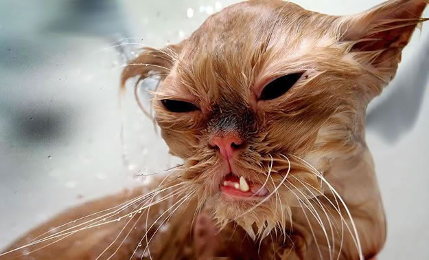 15 Wet Cat Grooming Photo Funnies 4