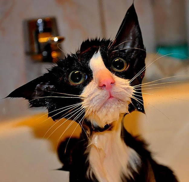 15 Wet Cat Grooming Photo Funnies 7