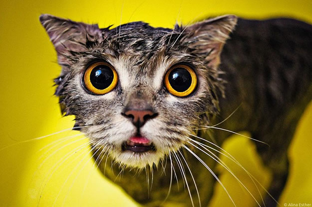 15 Wet Cat Grooming Photo Funnies 8