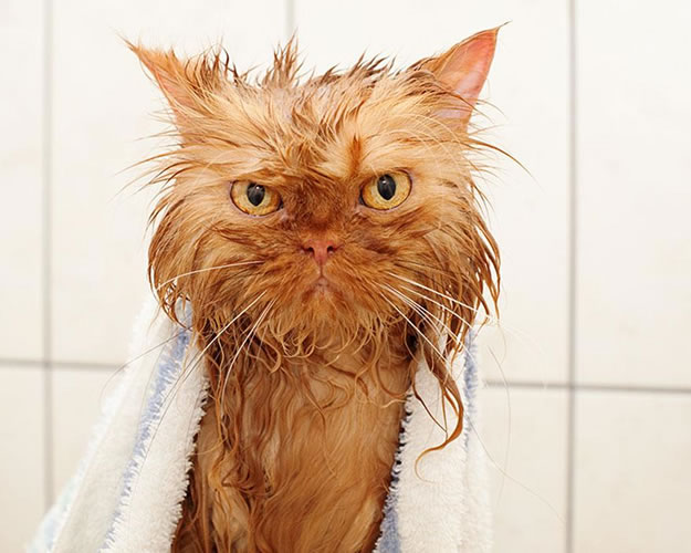 15 Wet Cat Grooming Photo Funnies 9