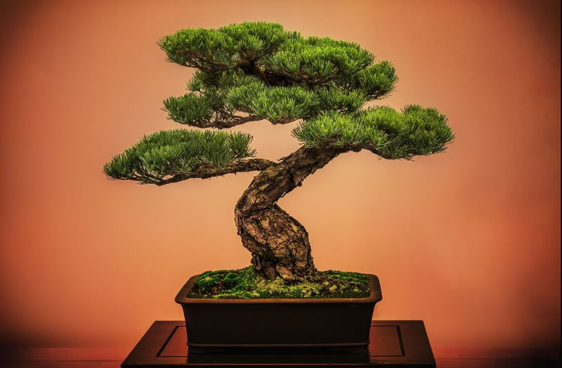 21 Amazing Bonsai Photos From Around The World (5)