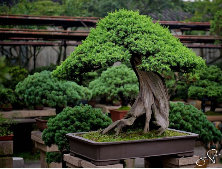 21 Amazing Bonsai Photos From Around The World (6)