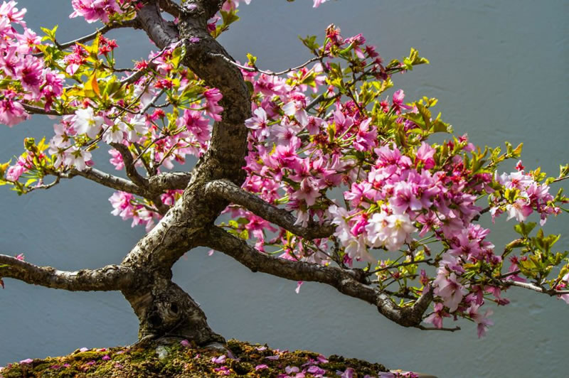 21 Amazing Bonsai Trees From Around The World (1)