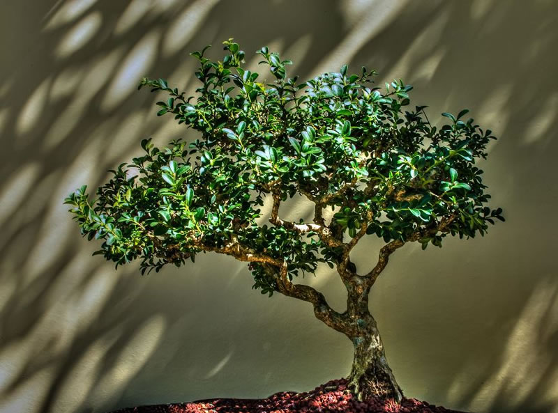 21 Amazing Bonsai Trees From Around The World (14)