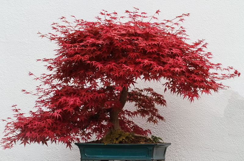 21 Amazing Bonsai Trees From Around The World (7)