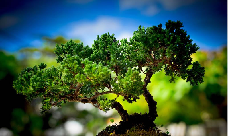 21 Amazing Bonsai Trees From Around The World (8)