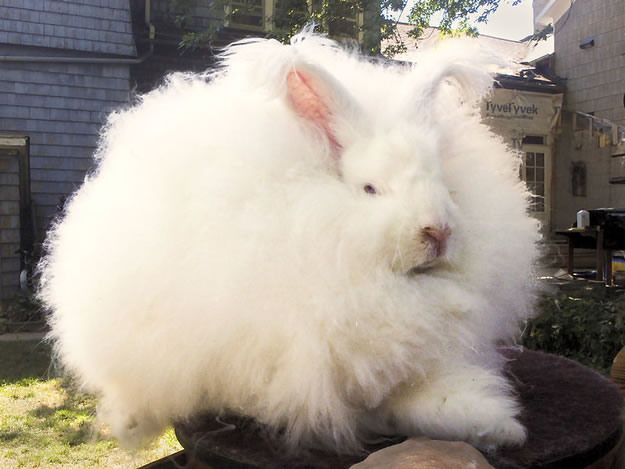 Out Of Control Nature Photos Of 25 Real Life Enormous Rabbits (3)