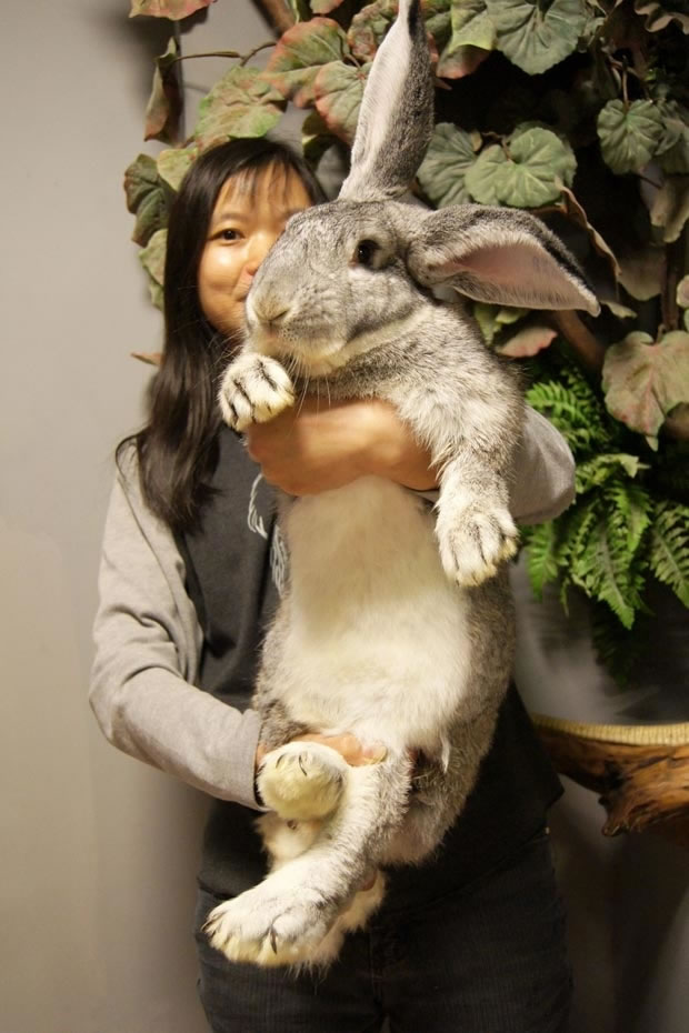 Out Of Control Nature Photos Of 25 Real Life Enormous Rabbits (7)