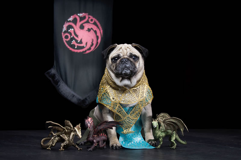 Pug Casting For Game Of Thrones Characters (2)