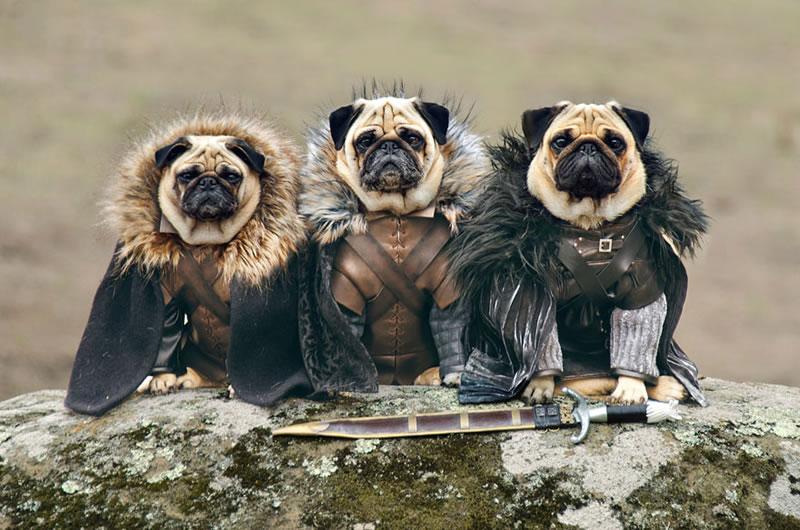 Pugs Casting For Game Of Thrones Characters (1)