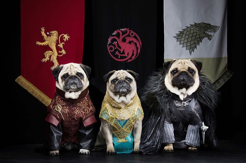 Pugs Casting For Game Of Thrones Characters (2)