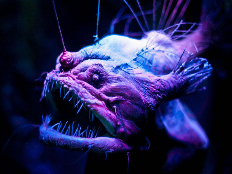 3 angler fish - 21 Strange Fish You Never Knew Existed
