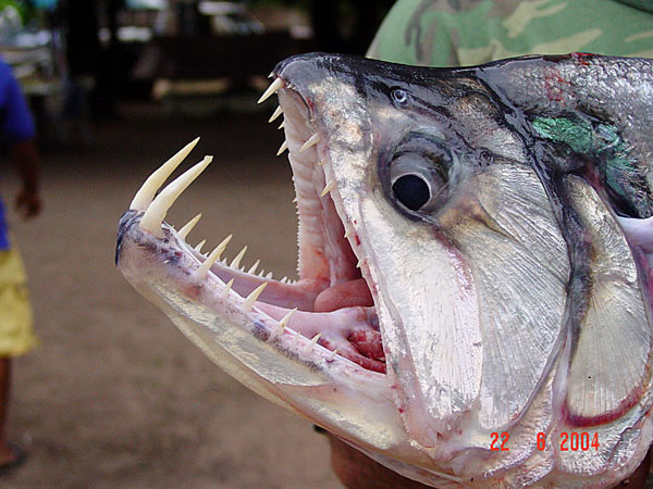 6 vampire fish - 21 Strange Fish You Never Knew Existed