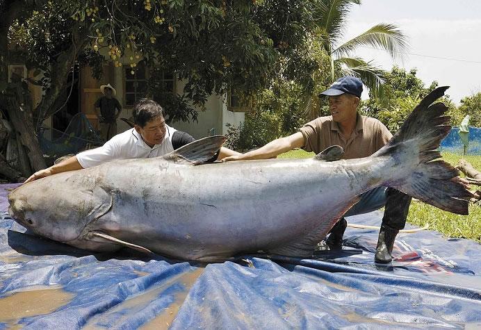 mekong catfish 2