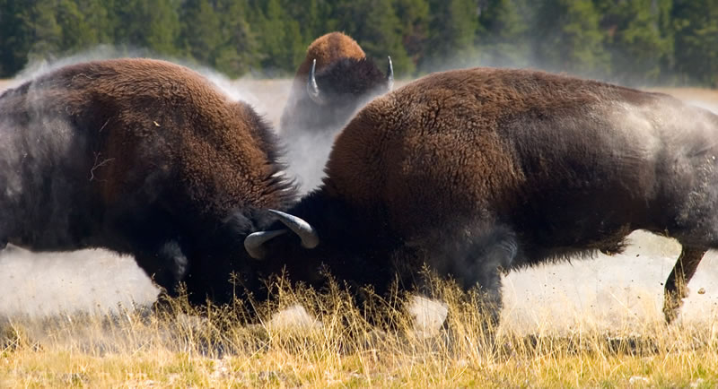 Bison - 10 Random Interesting Facts You Probably Never Kew