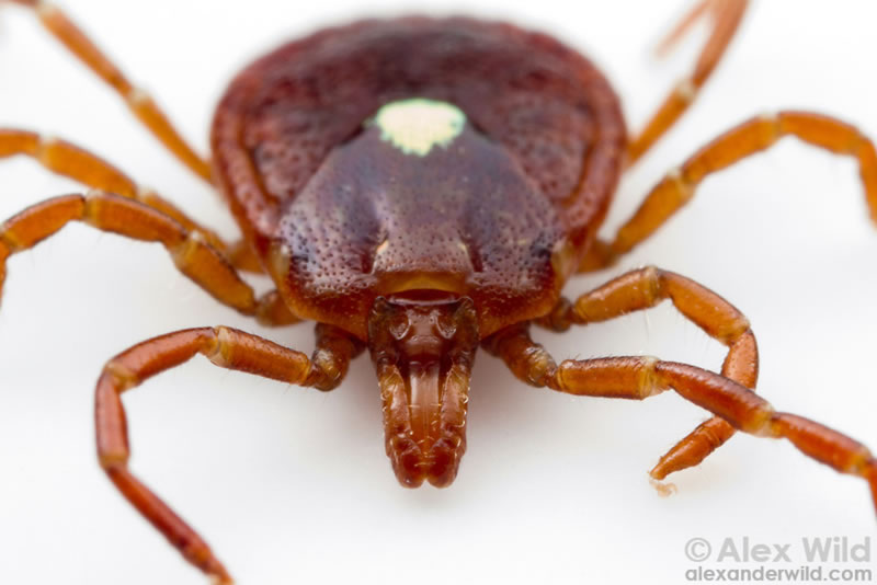 One Bite From Lone Star Tick Bite Could Make You A Vegetarian (2)