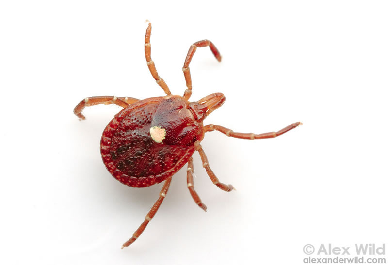 One Bite From Lone Star Tick Bite Could Make You A Vegetarian (3)