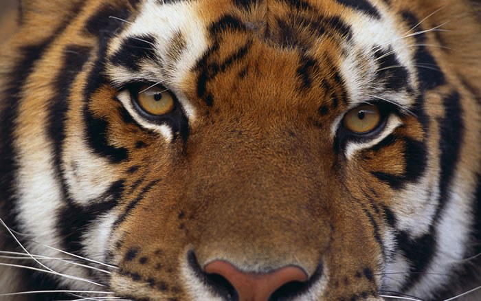 20 Unusual Facts About Tigers You Probably Didn't Know 1