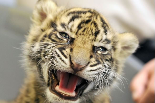 20 Unusual Facts About Tigers You Probably Didn't Know 10