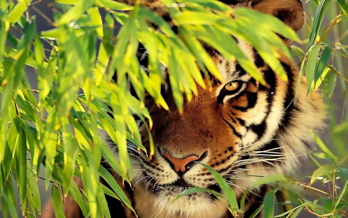20 Unusual Facts About Tigers You Probably Didn't Know 11