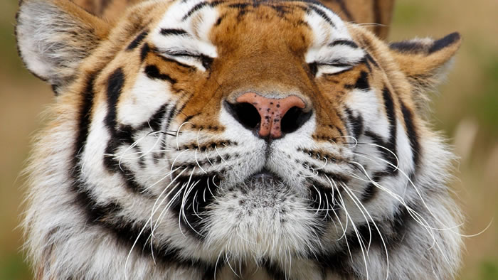 20 Unusual Facts About Tigers You Probably Didn't Know 12