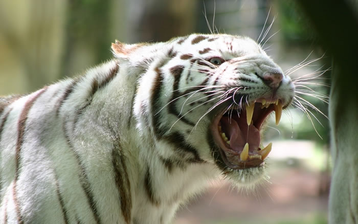 20 Unusual Facts About Tigers You Probably Didn't Know 17