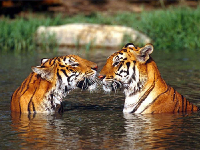 20 Unusual Facts About Tigers You Probably Didn't Know 18