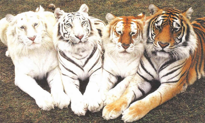 20 Unusual Facts About Tigers You Probably Didn't Know 19