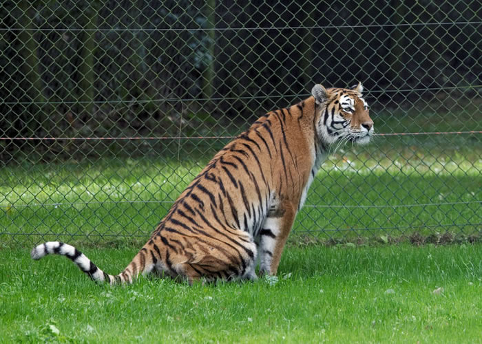 20 Unusual Facts About Tigers You Probably Didn't Know 2