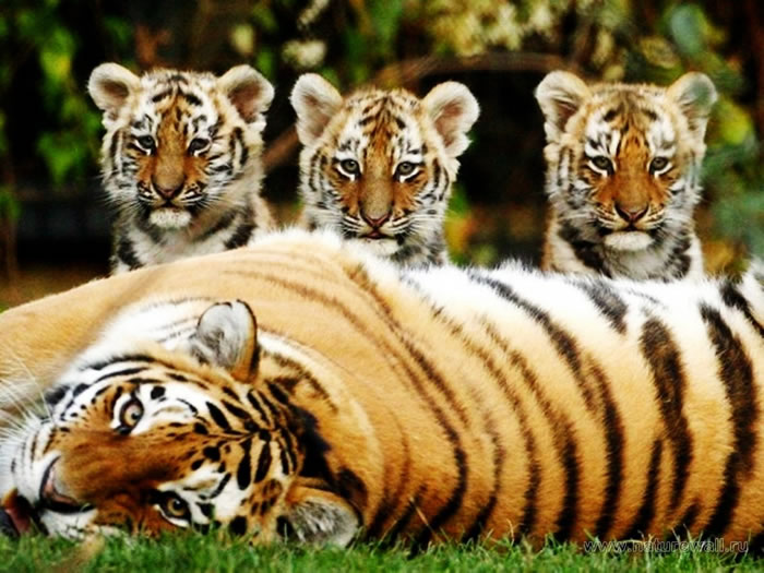 20 Unusual Facts About Tigers You Probably Didn't Know 5