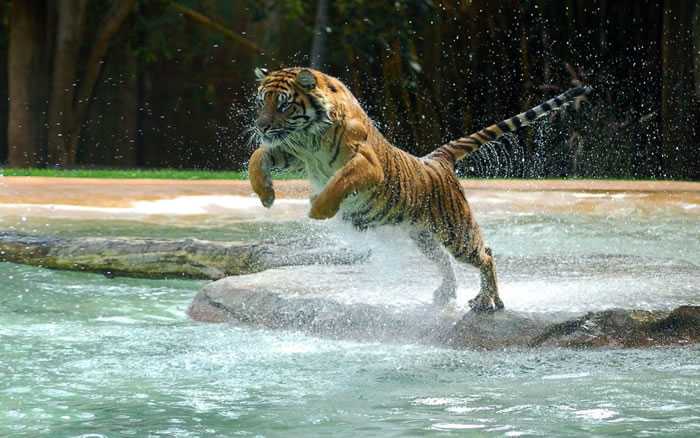 20 Unusual Facts About Tigers You Probably Didn't Know 8