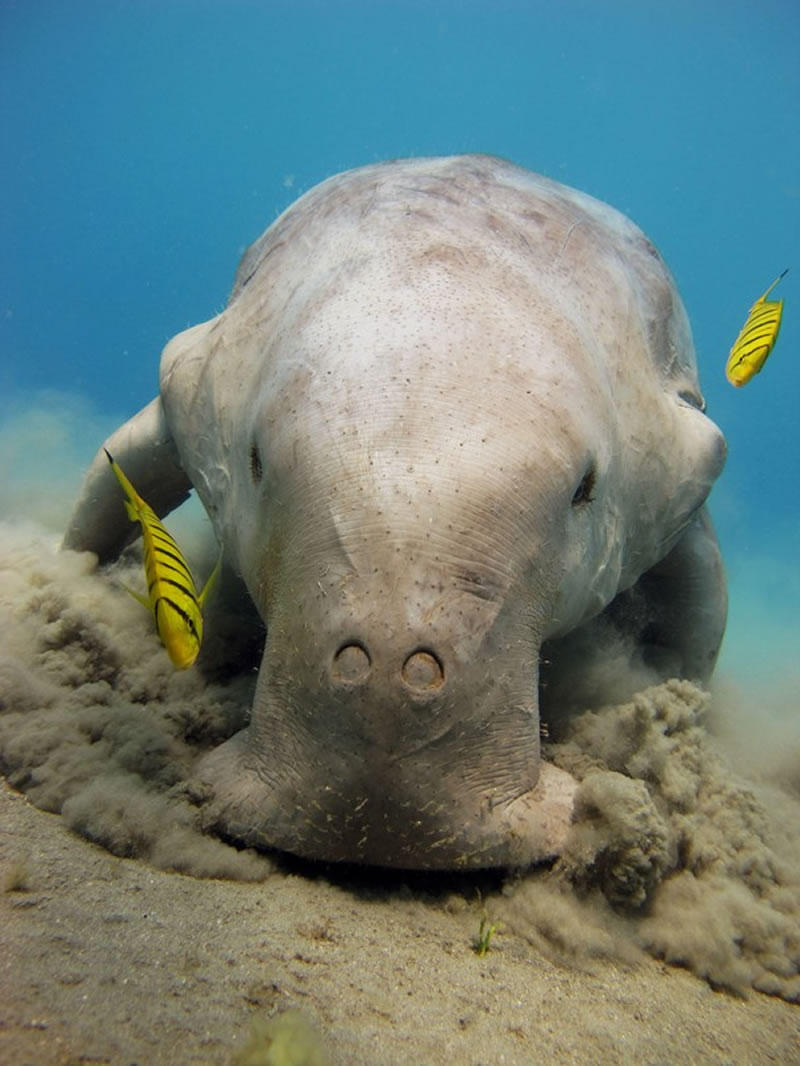 Dugong feeding on seagrass