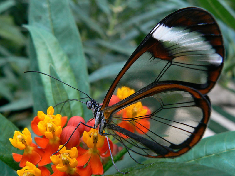 Glasswinged Butterfly 2