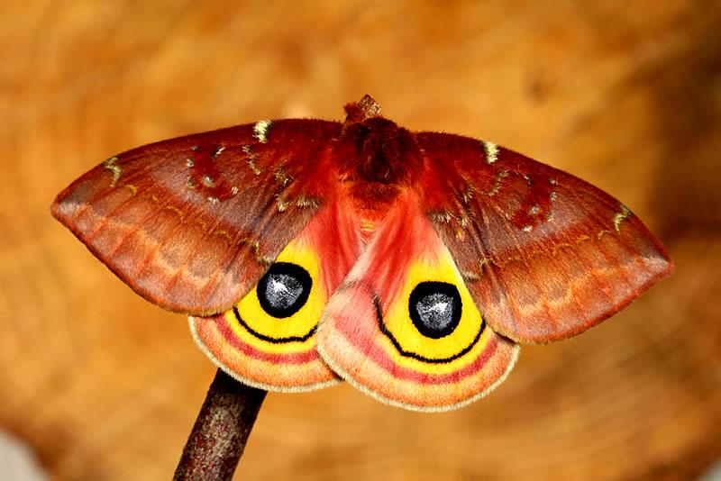 Io Moth 2