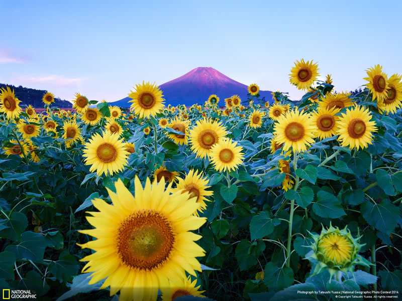Mt. Fuji with Sunflower - National Geographic Photo Contest 2014