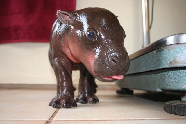 So Who Would Like A Pygmy Hippo (2)