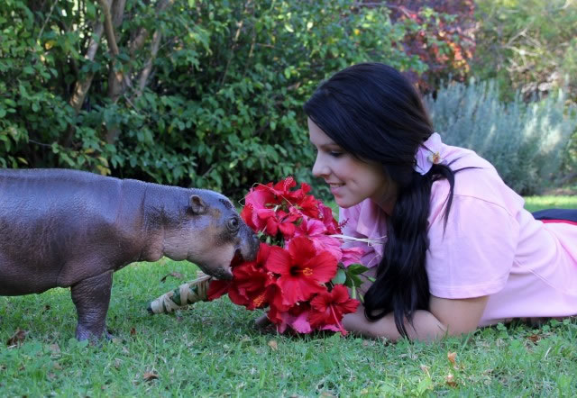 So Who Would Like A Pygmy Hippo As  A Pet (1)