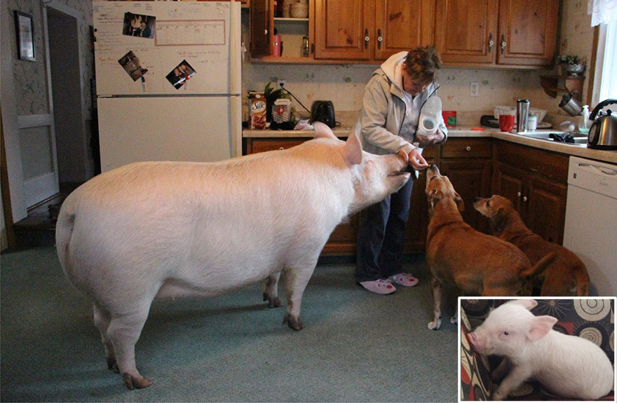 Esther A Cute Little Adopted Pet Pig Grows To 670 Pounds (1)