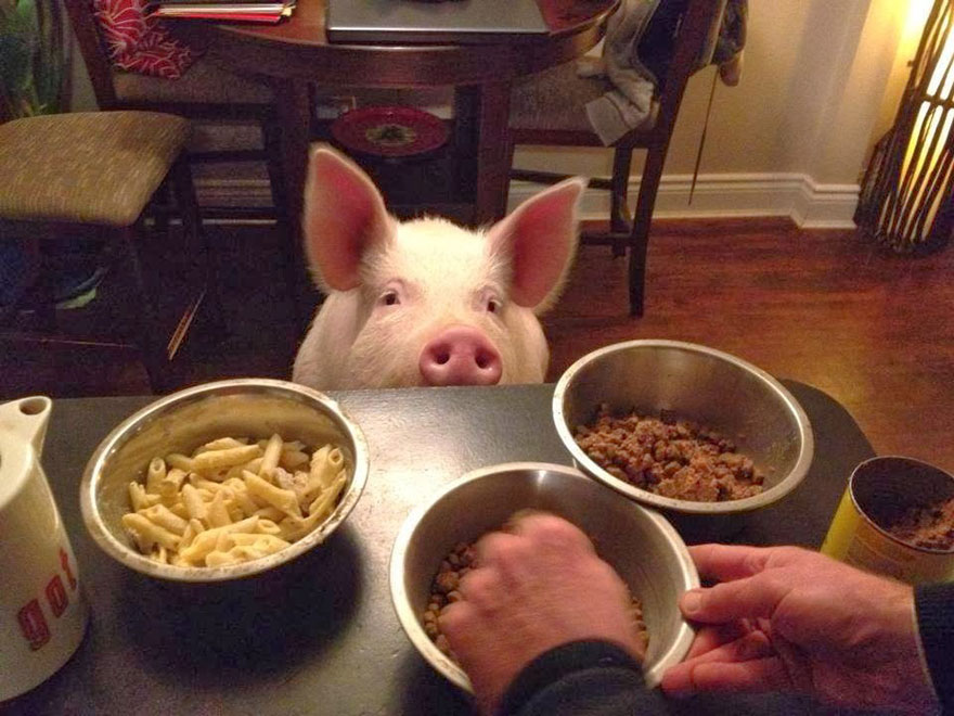 Esther A Cute Little Adopted Pet Pig Grows To 670 Pounds (4)