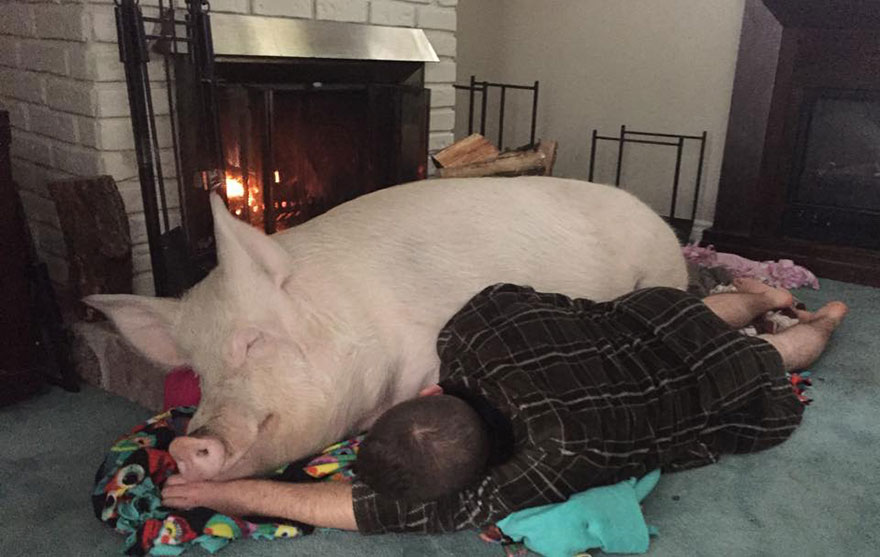 Esther A Cute Little Adopted Pet Pig Grows To 670 Pounds (5)
