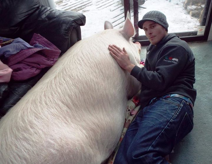 Esther A Cute Little Adopted Pet Pig Grows To 670 Pounds (6)